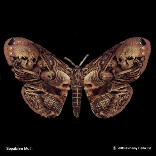 Sepulchre Moth (CA279)