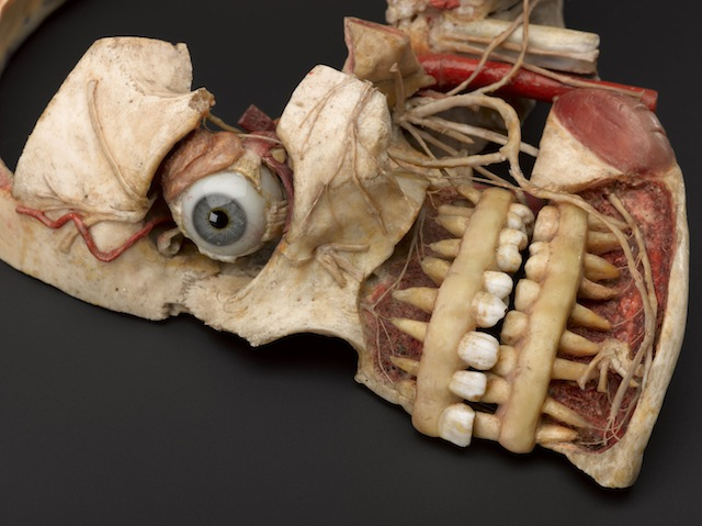 Detail of wax anatomical model of female human head showing inte